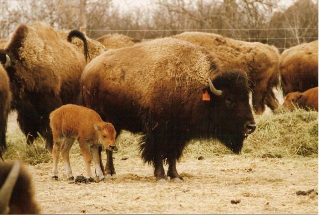 Bison-and-calf