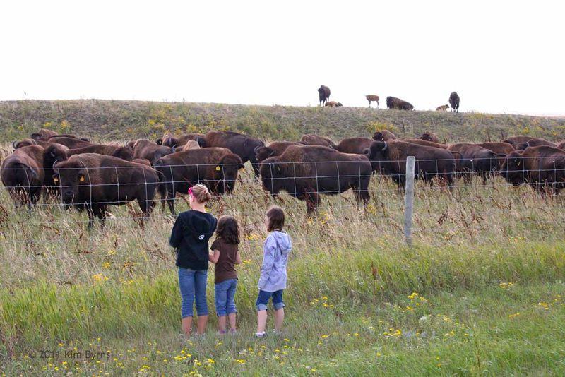 20aug11-bison