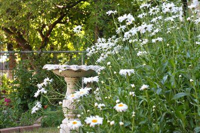 17jul11-daisies
