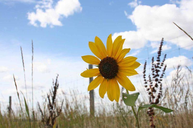 20aug11-sunflower