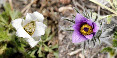 Pasque-flowers-24apr12