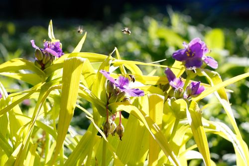 Bees on the spiderwort